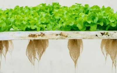 What Are the Essential Hydroponic Nutrients?