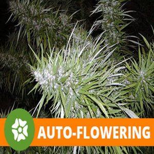 Auto-Flower
